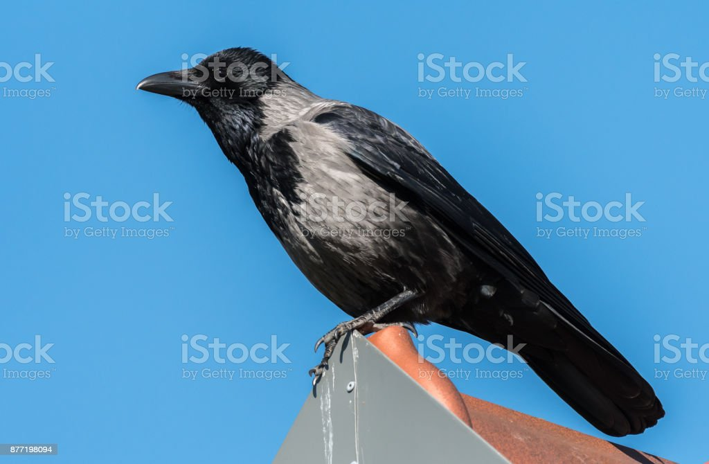 A Carrion Crow sitting on a rooftop sunny day blue sky stock photo