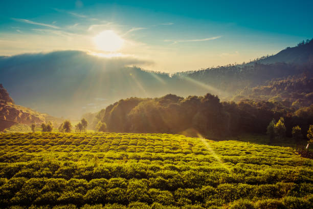 Carrot Field In The Mountains Under Beautiful Sunrise Carrot Field In The Mountains Under Beautiful Sunrise ohio stock pictures, royalty-free photos & images