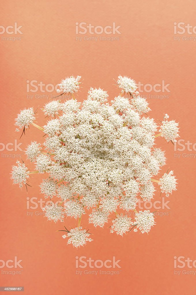 Carrot Flowers on an Orange Background royalty-free stock photo
