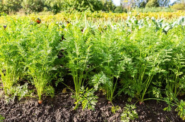 Karottenanbau im Gemüsegarten – Foto