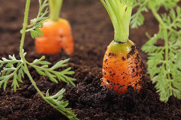 carrot growing in the soil veg garden stock photo