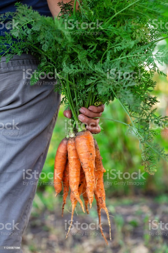 Carrot harvest in hand of woman farmer royalty-free stock photo