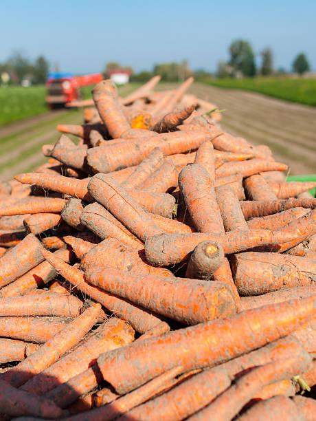 Carrot harvest stock photo