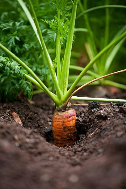 Carrot in Garden stock photo