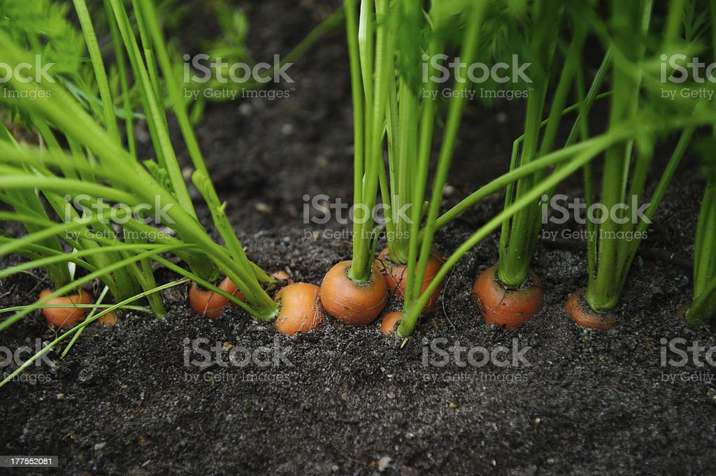 carrot in the field stock photo