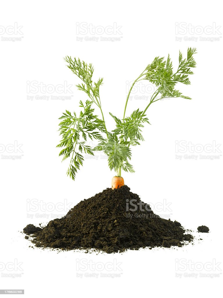Carrot in the ground stock photo
