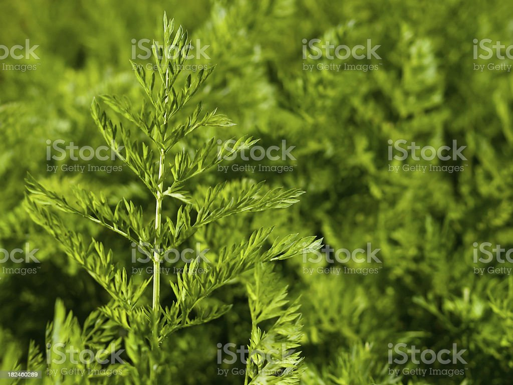 carrot leaf royalty-free stock photo