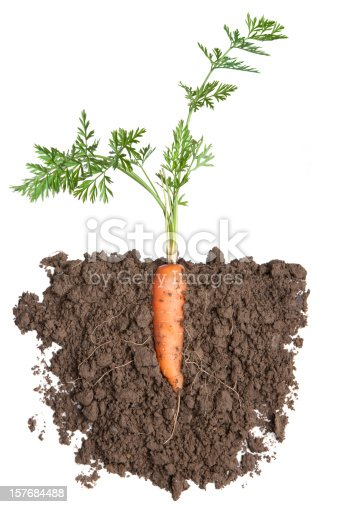 carrot plant in soil,, isolated on white