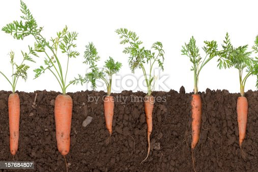 carrot plants in soil,, soil is cut to reveal the root.