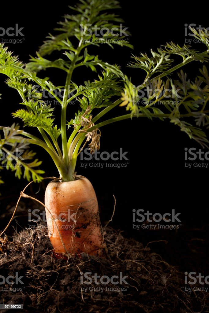 Carrot Planted in Soil royalty-free stock photo