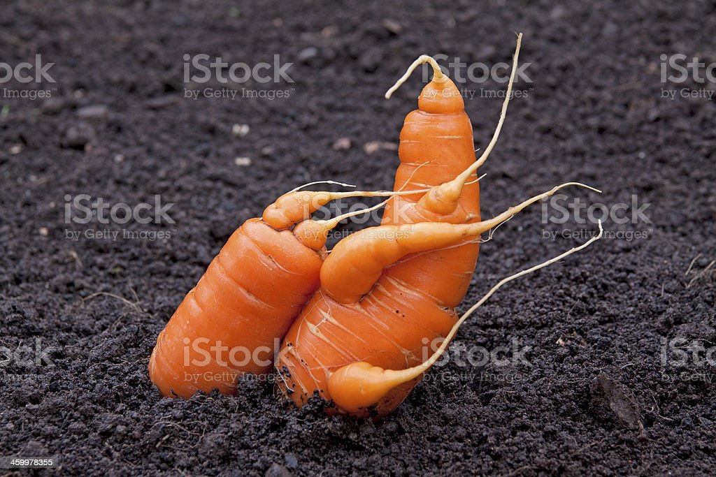 Carrot togetherness stock photo