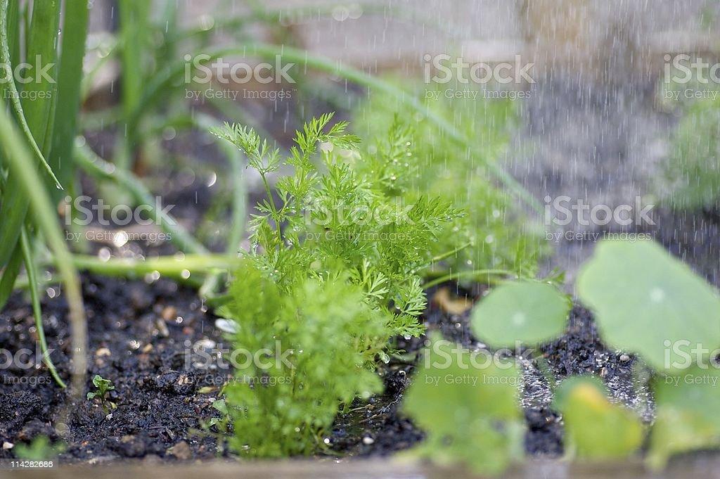 Carrot tops in the rain... stock photo