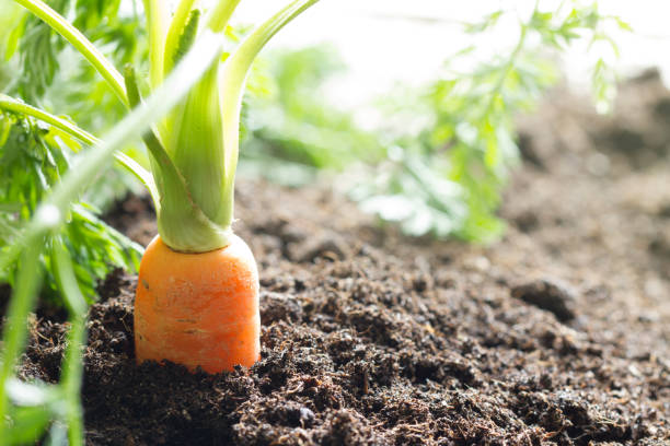 carrot vegetable grows in the garden in the soil organic background - cenoura imagens e fotografias de stock