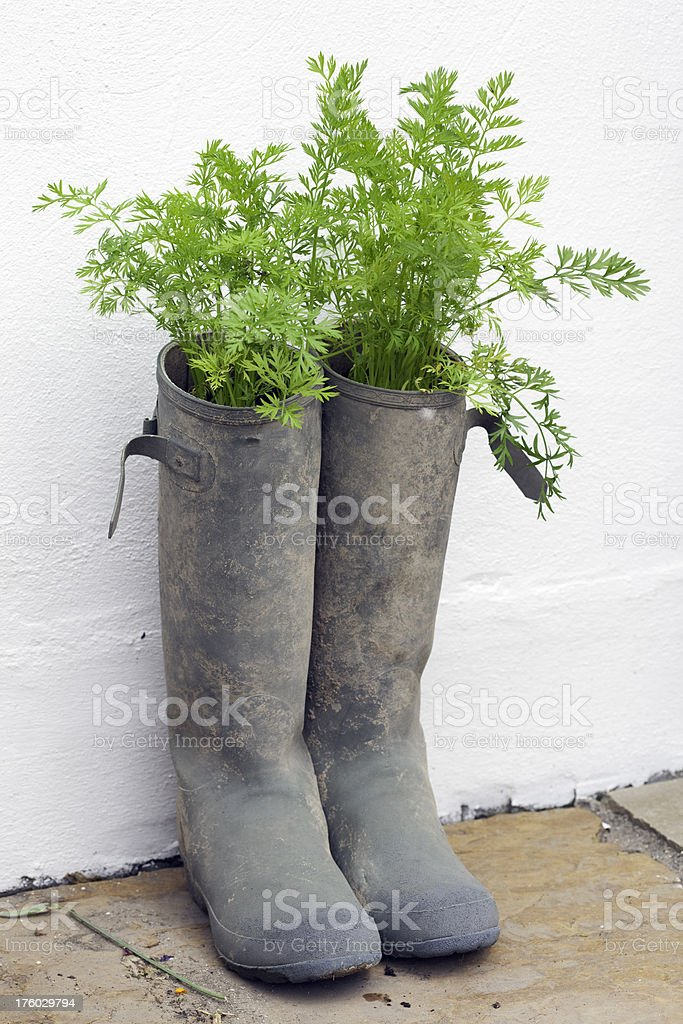Carrots Growing In Old Wellies royalty-free stock photo