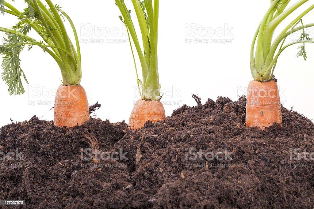 carrots growing in soil stock photo