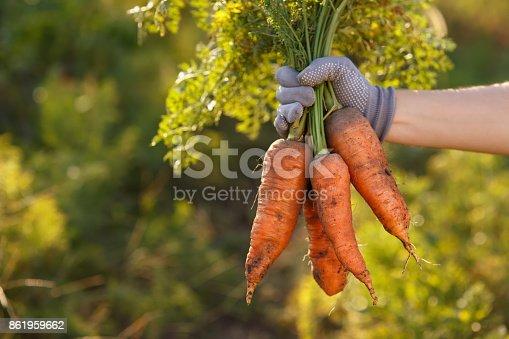 istock carrots in hands 861959662