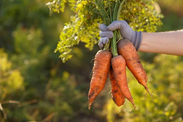 carrots in hands stock photo