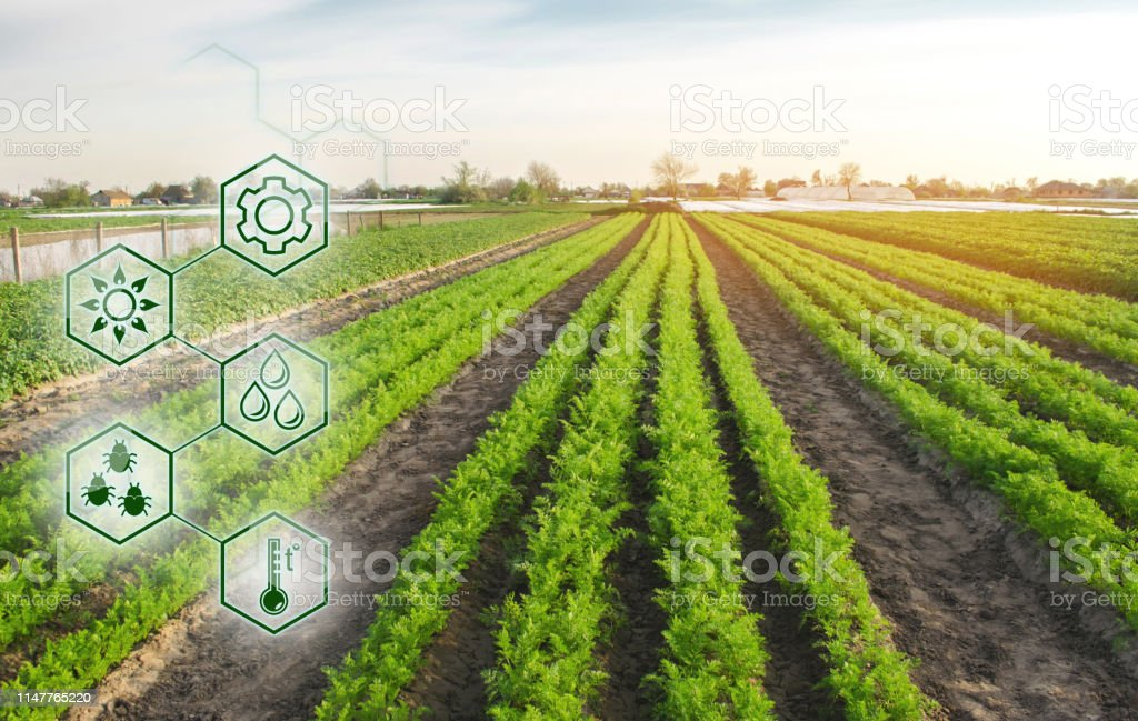 Carrots in the field. Scientific work and development of new methods...