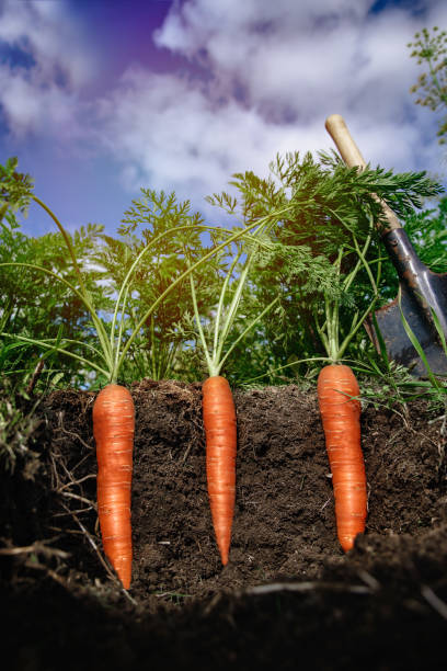 carrots in the soil at shallow depth of field stock photo