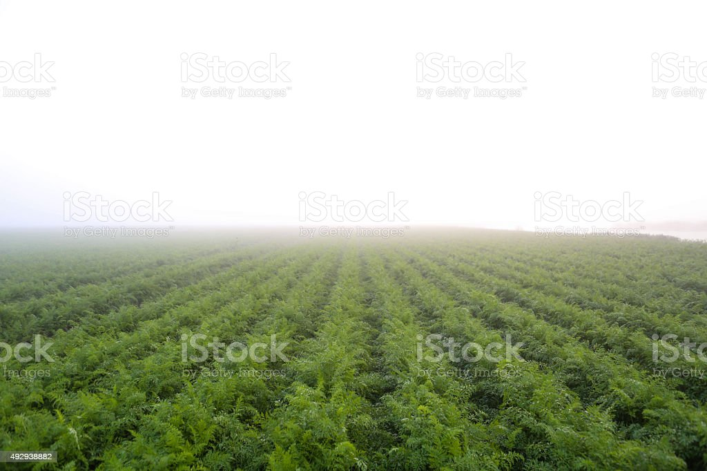 carrots plantation stock photo