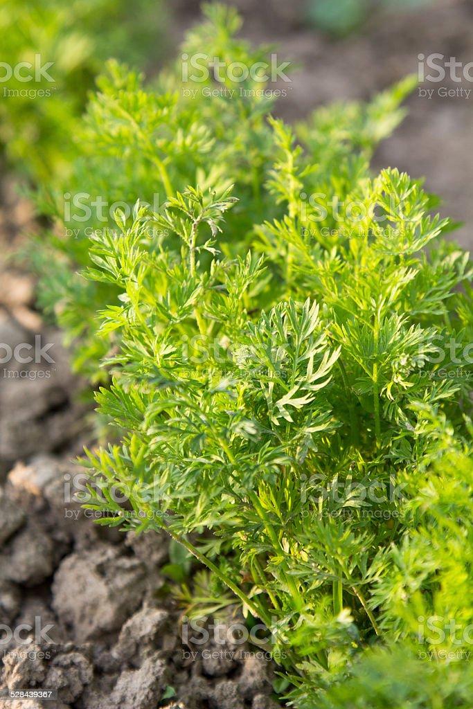 carrots tops stock photo