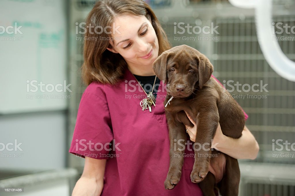 carrying a labrador puppy at the veterinarian's stock photo