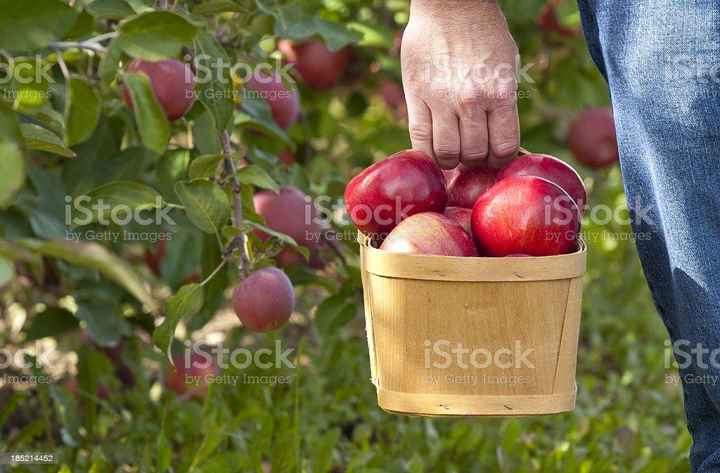 Carrying Apple Basket stock photo