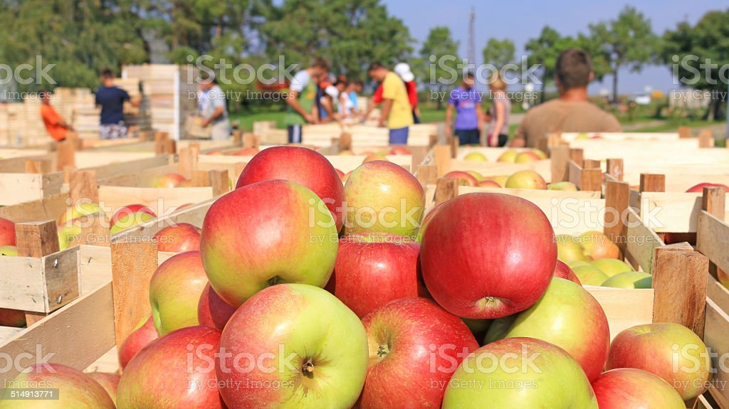 Cart full of apples after picking stock photo