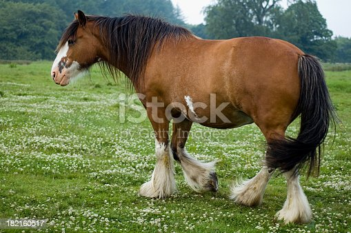 Clydesdale horse in a Scottish field of grass and clover.