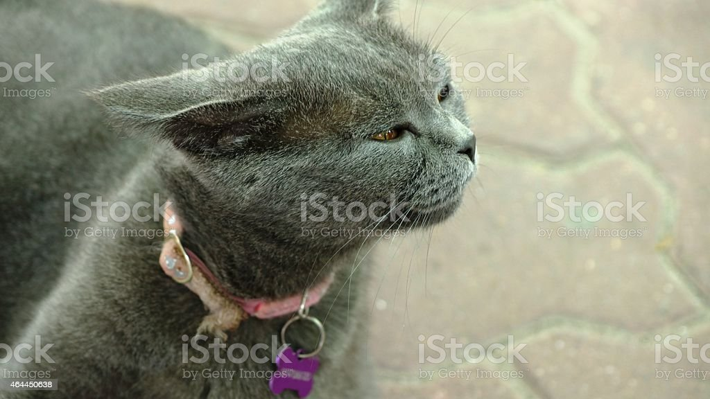 Bleu chartreux stock photo