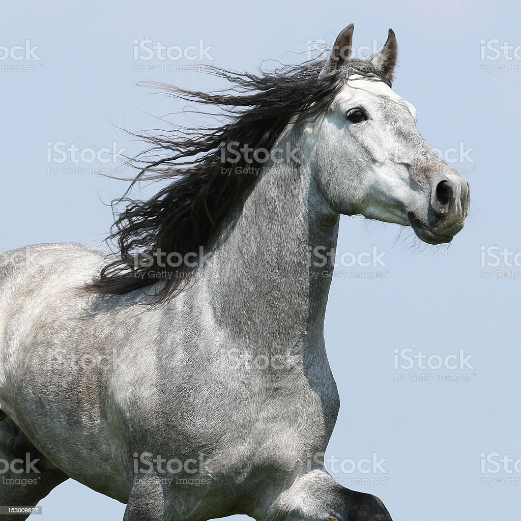 Carthusian horse isolated stock photo