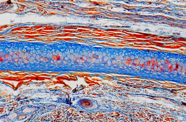 Cartilage tissue Ear section showing elastic cartilage tissue with chondrocytes. Optical microscope, magnification X40.. cartilage stock pictures, royalty-free photos & images