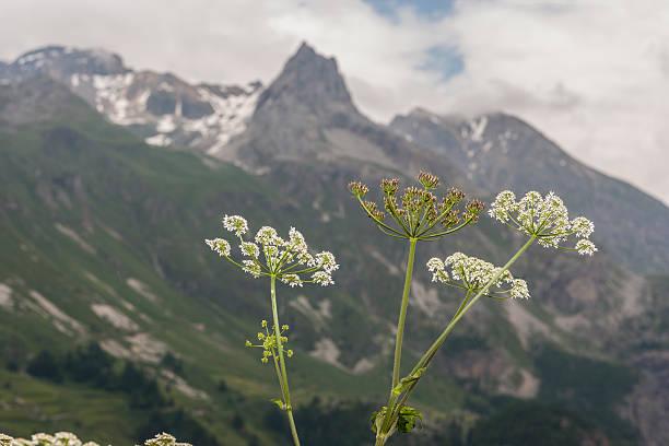 Carum carvi (famiglia: Apiaceae). Nome comune: Cumino dei prati, meridian finocchio - foto stock