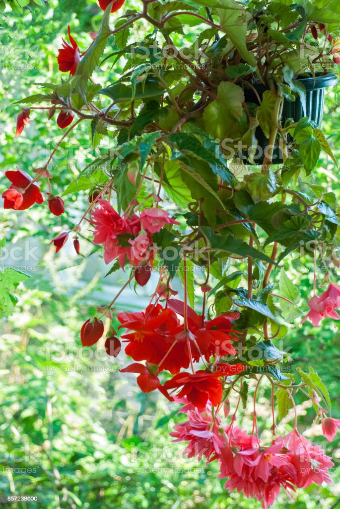 Cascade Flowers Of Red Begonia Hanging In A Pot In The Garden