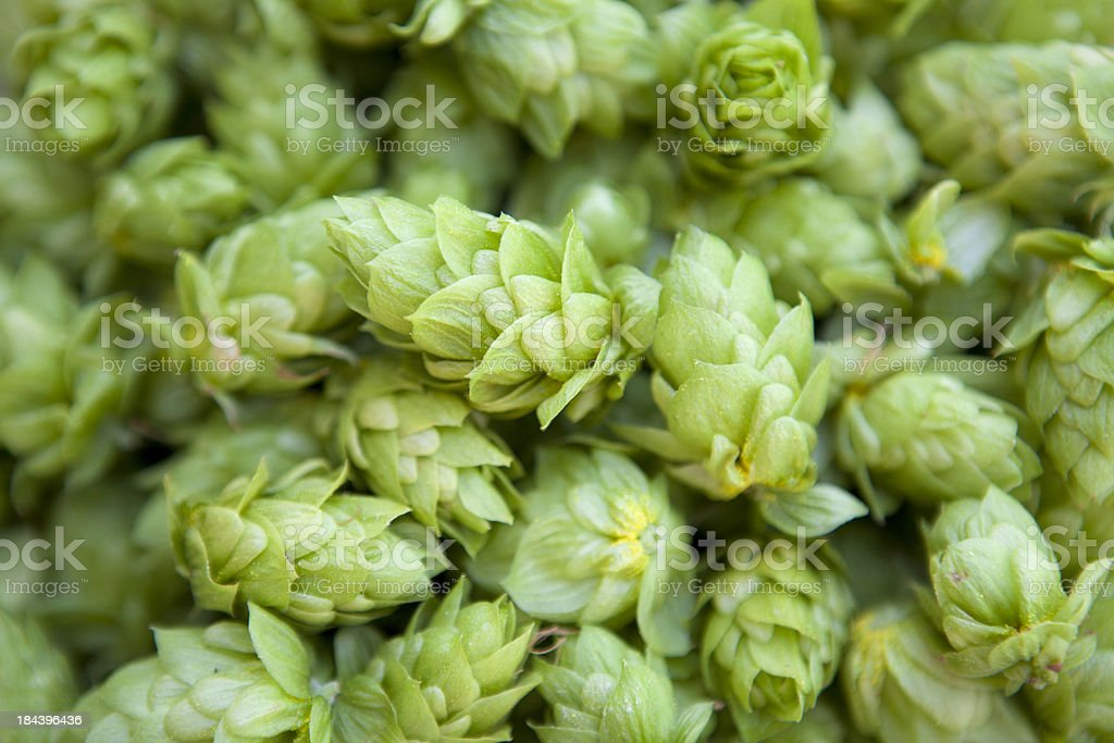 Cascade Hops stock photo