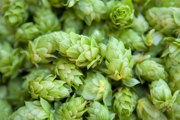Cascade Hops stock photo