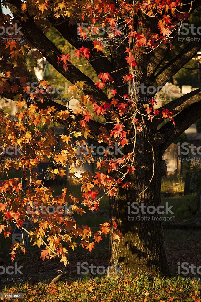 Cascade of Autumn Colour on a Liquid Ambar Tree stock photo