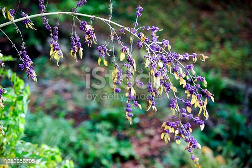 England in autumn - Callicarpa Bodinieri berries in a vibrant colourful countryside rural landscape of both wild and cultivated flowers, trees and rolling hills with ancient woodland that turn to a kaleidoscope of multicoloured hues as the season changes