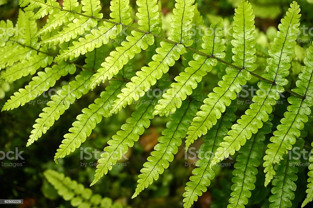Cascading fern leaves. stock photo