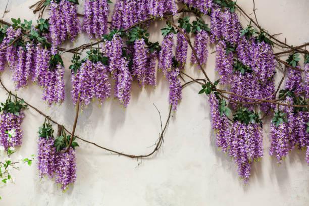 kaskadierende lila glyzinien blüten - blauregen stock-fotos und bilder