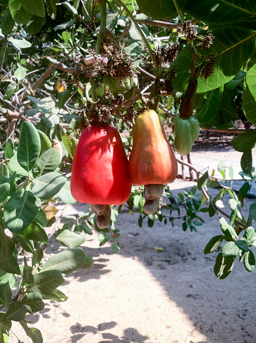 istock Cashew apple fruit, Anacardium occidentale, Anacardium curatellifolium 523859238