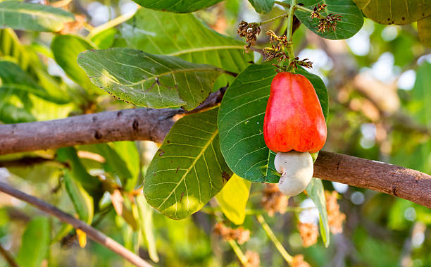 Cashew fruit on tree stock photo