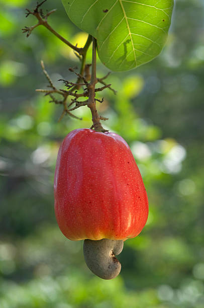 cashew fruit - cashew stock photos and pictures