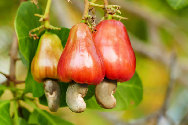 cashew nut fruits - cashew stock photos and pictures
