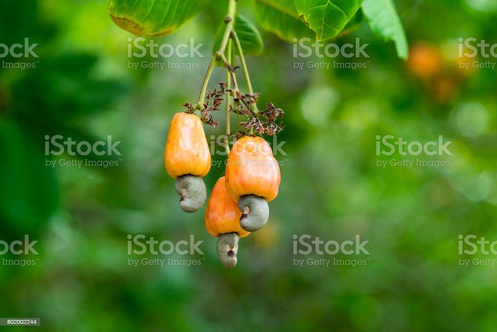 Cashew-Nuss-Ast – Foto