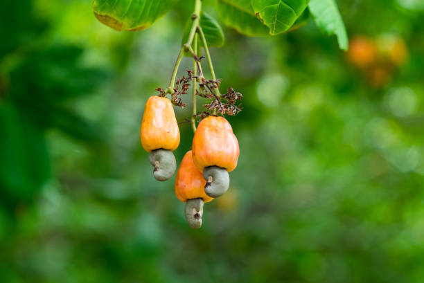 cashew nut tree branch - cashew stock photos and pictures