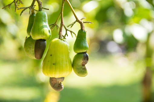 istock Cashew nuts grow on a tree branch. Cashew nuts (Anacardium occidentale) 1252408444