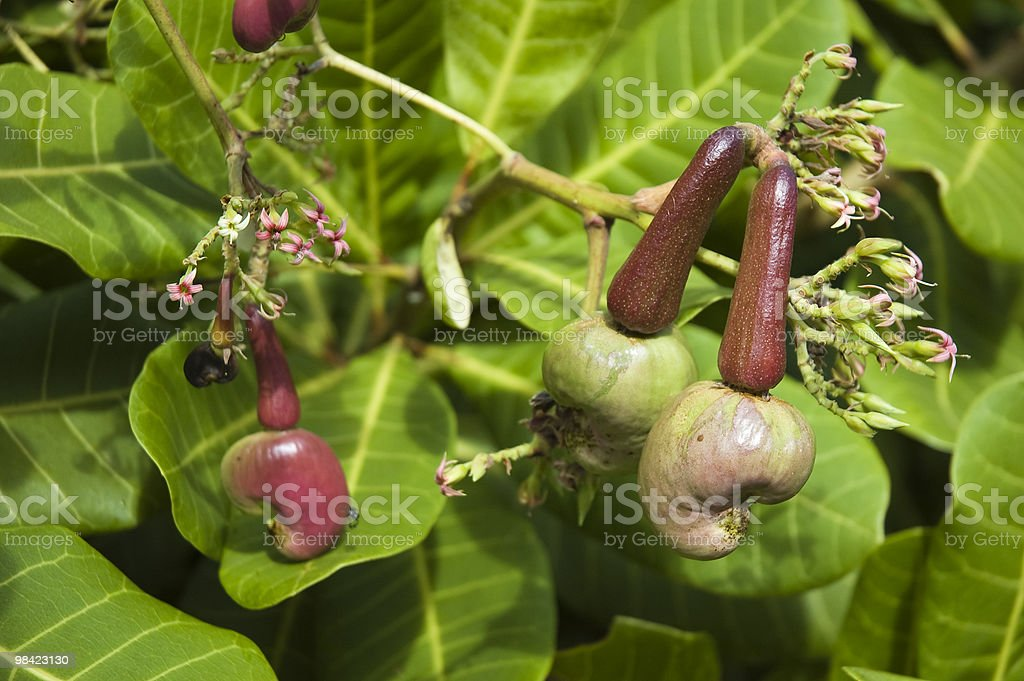 Cashew nuts growing on tree royalty-free stock photo