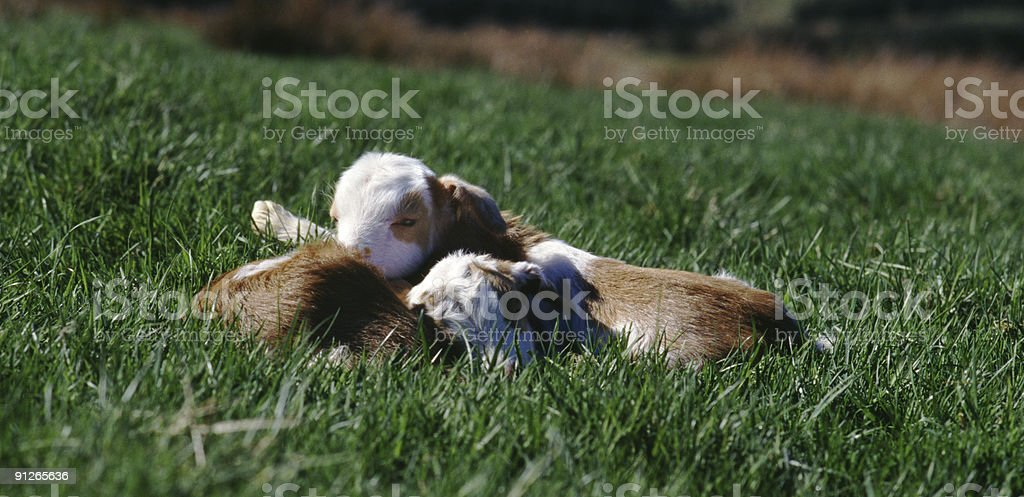 Cashmere goat kids, Scotland royalty-free stock photo