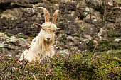 Cashmere Goat on the Great Orme, Llandudno, North Wales, UK